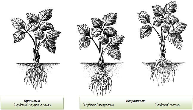 Как посадить землянику